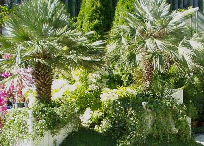 legyező pálma