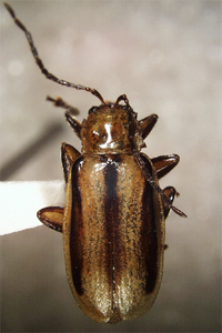 csíkos uborkabogár (Acalymma trivittata)