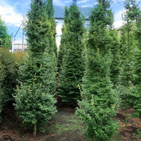 Acer palmatum 'Silhouette'