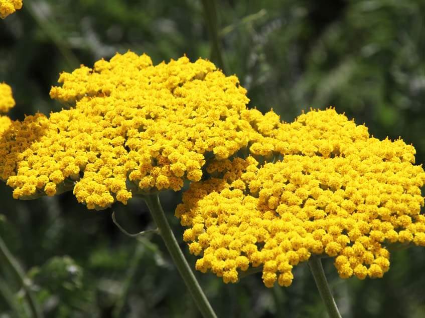 Achillea filipendulina 'Coronation Gold'