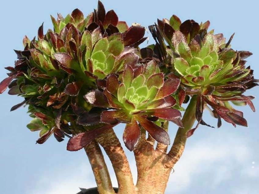 Aeonium arboreum ver. atropurpureum