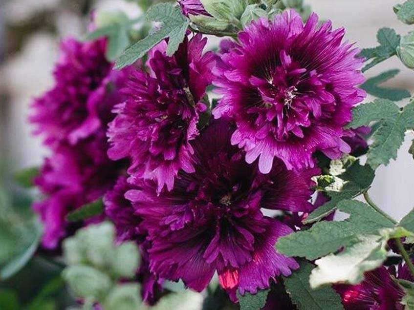 Alcea rosea Queeny Purple