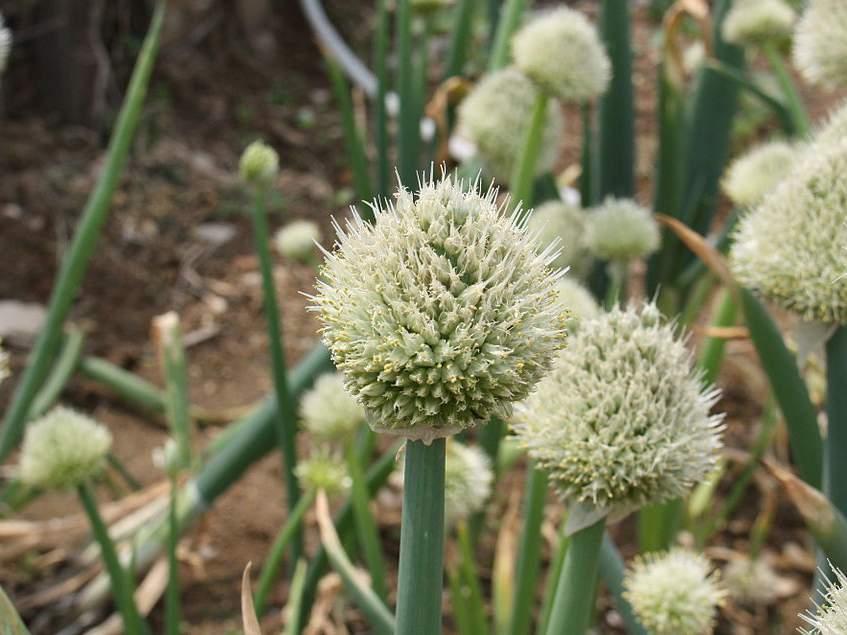 virágzó téli sarjadékhagyma