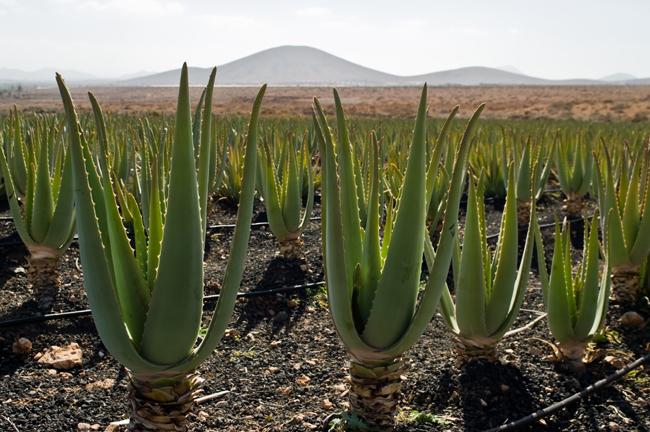 Aloe vera ültetvény