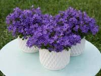 harangvirág Ambella 'Intense Purple'