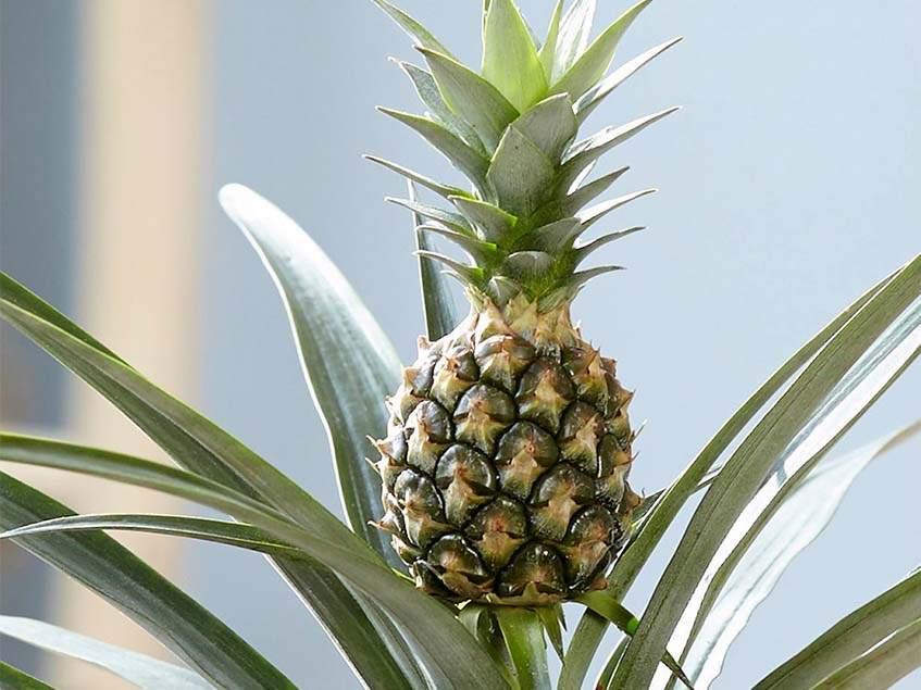 Ananas comosus Corona
