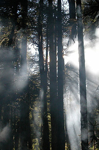 Araucaria erdő az Andokban