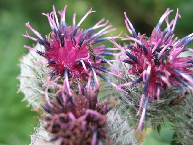 bakszakáll virágzat