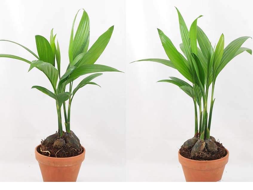 Areca szobanövény