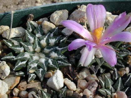 Ariocarpus kotschoubeyan