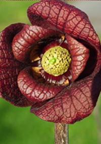 pawpaw marsala színű virága