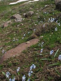 Azerbajdzsan hegyein élő puskin csillagvirág