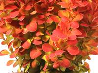 Berberis thunbergii Orange Ice