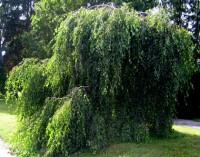 Betula pendula Youngii