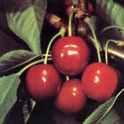 Bigarreau burlat cseresznye