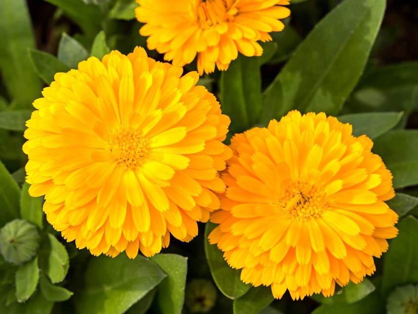 Calendula 'Bonbon Yellow'