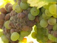 szürke penész szőlőn
