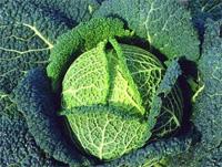 Brassica oleracea 'Vertus'