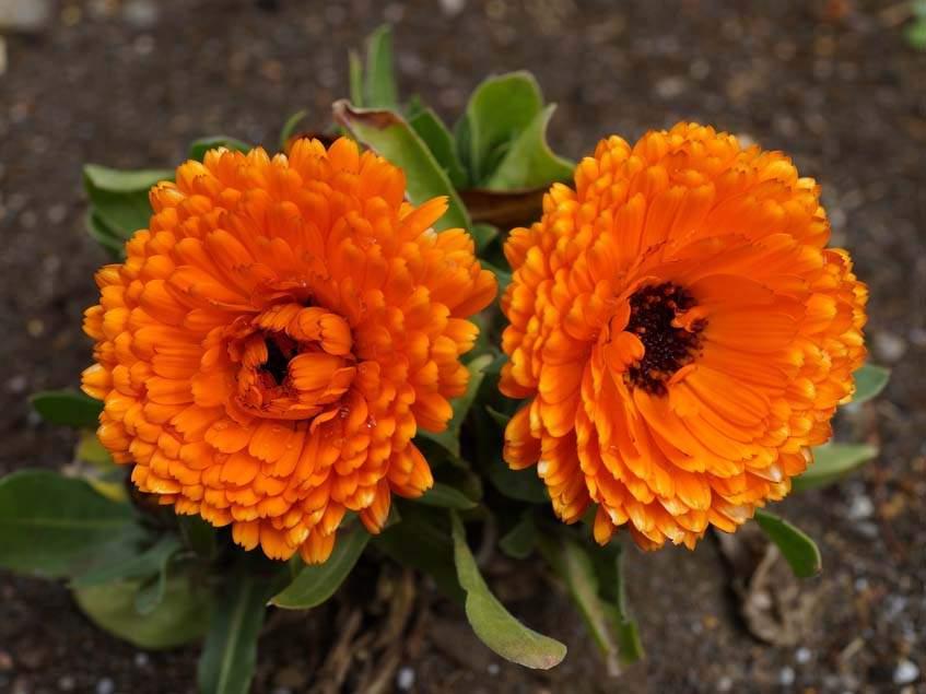 Calendula Calypso orange