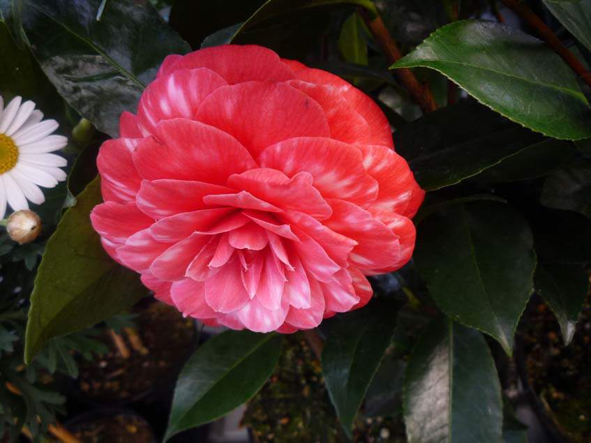 Camelia japonica 'Red Red Rose'