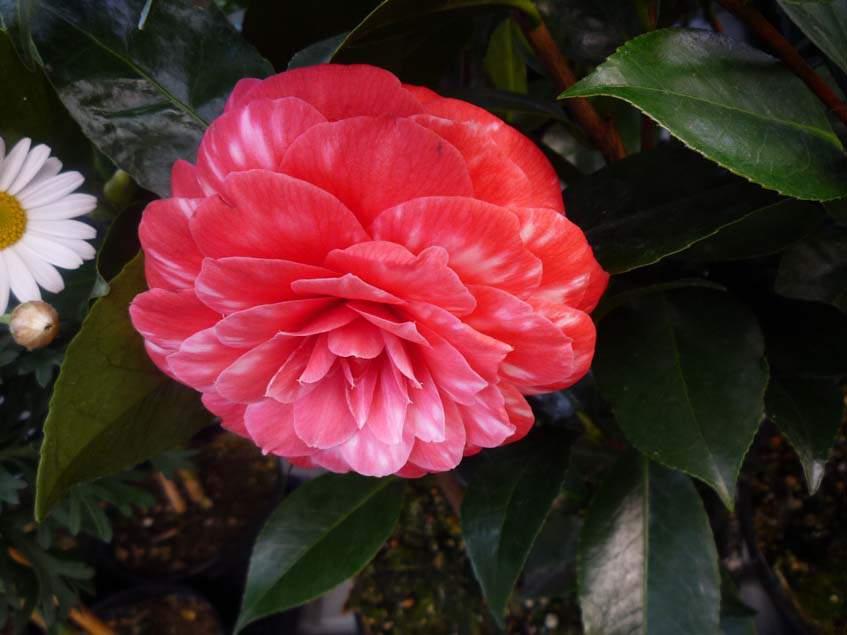 Camelia japonica 'Red Rose'