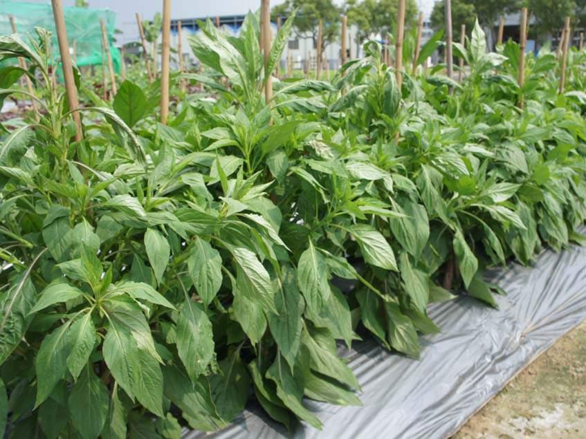 zöldségnek termesztett Celosia