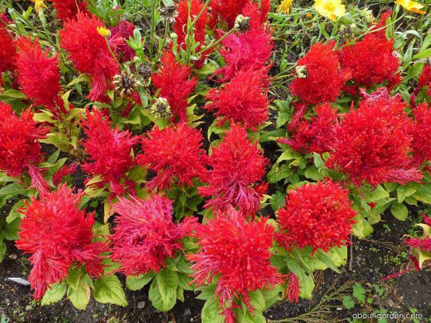 Celosia argentea var. plumosa Arrabona
