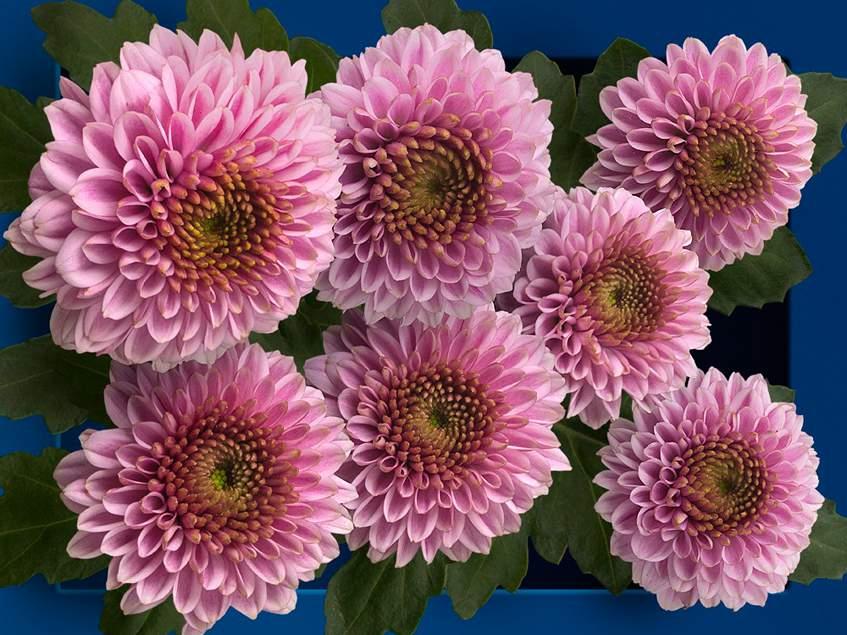 krizantém 'Doria Pink'