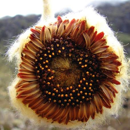 Coespeletia palustris