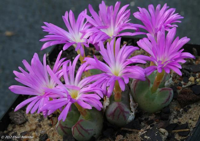 Conophytum bicarinatum