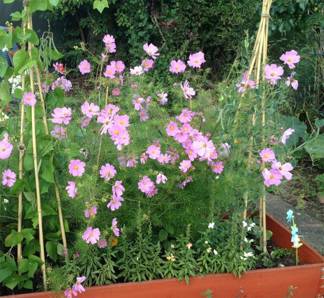 pillangóvirág és cukorborsó magaságyásban