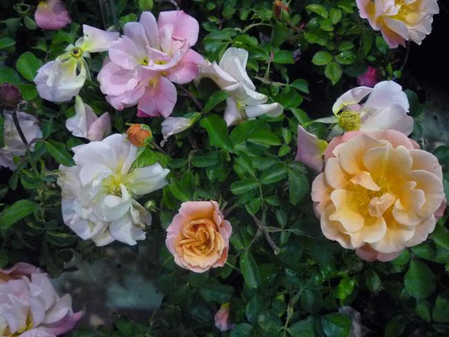 rózsa 'Cubana'