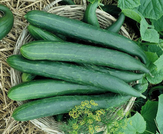 Burpless saláta uborka hibrid
