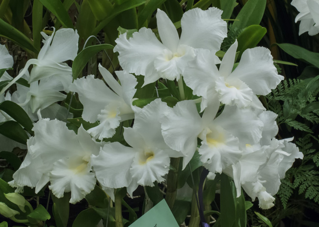 Dendrobium Hawaiian 'Giant'