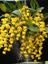 Dendrobium drifithianum