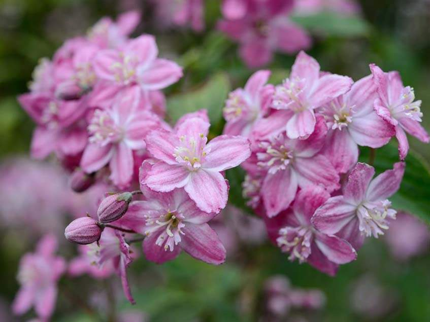 Deutzia elegantissima 'Rosealind'