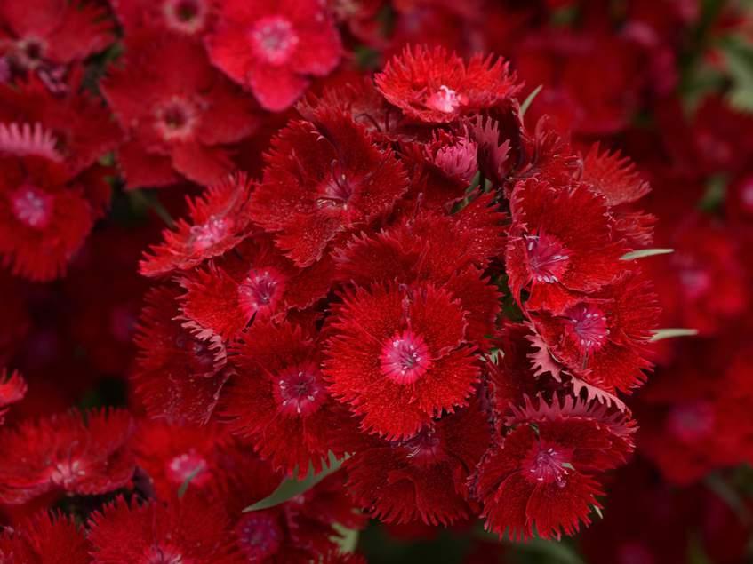 Dianthus Rockin Red