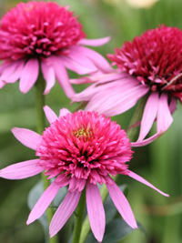 Echinacea Double Scoop