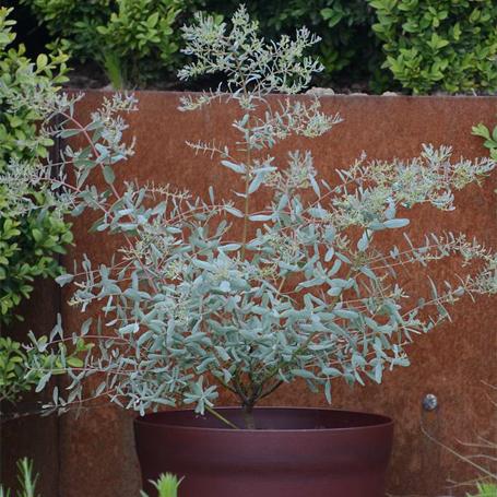 Eucalyptus gunnii France Bleu Rengun