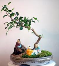 Ficus Wiandi