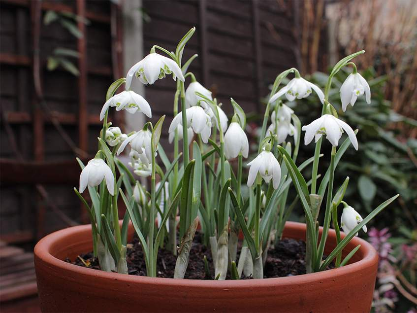 hóvirág 'Flore Pleno'