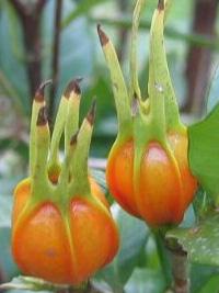 Gardenia jasminoides termése