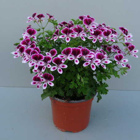 Germany Pelargonium Mosquitaway Eva