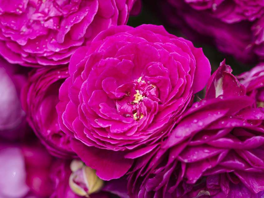 Geschwind rózsa