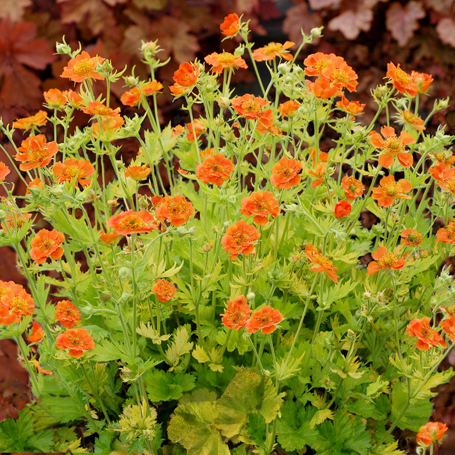 Geum 'Sunkissed Lime '