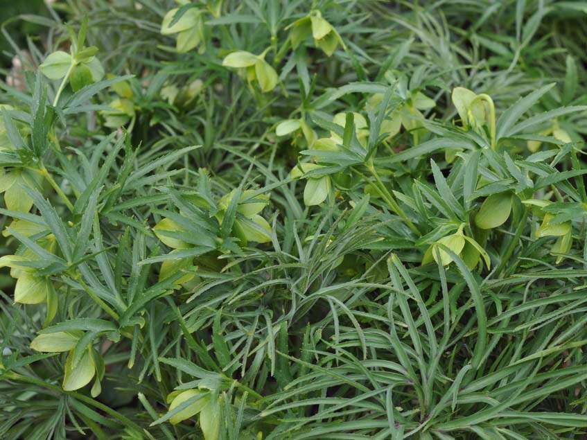 Helleborus hercegovinus
