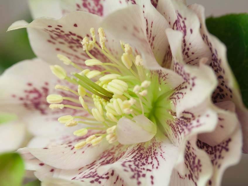 Helleborus orientalis hibrid