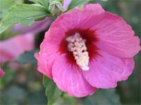 Hibiscus syriacus Lil' Kim Rose