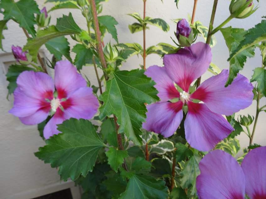 Hibiscus WALHIROSMO
