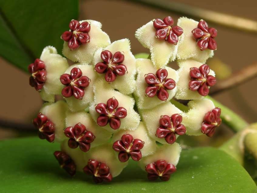 szivlevelű viaszvirág virágzata